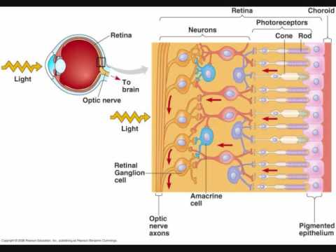 Retina human vertebrate